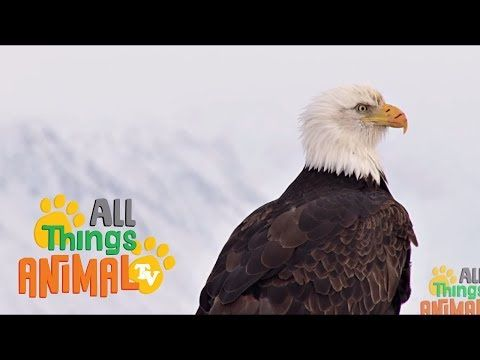 BALD EAGLE: Animals for children. Kids videos. Kindergarten | Preschool learning - YouTube