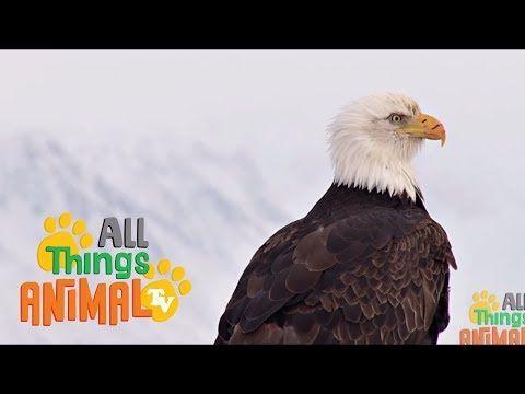 BALD EAGLE: Animals for children. Kids videos. Kindergarten   Preschool learning - YouTube