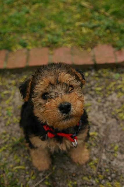 Welsh Terrier Puppy- I wish we would of had Ruby when she was a puppy! Super cute!