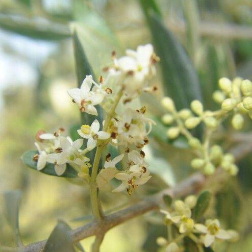 Flower olives