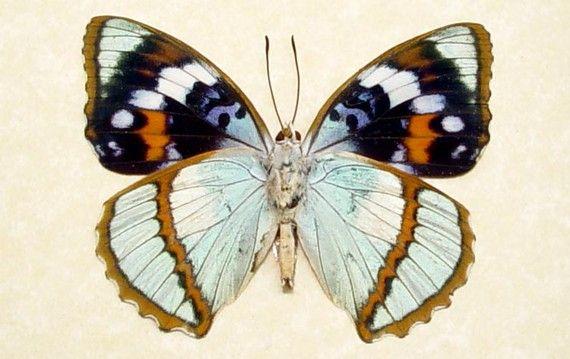 Rare Seafoam Blue Unusual Framed Butterfly