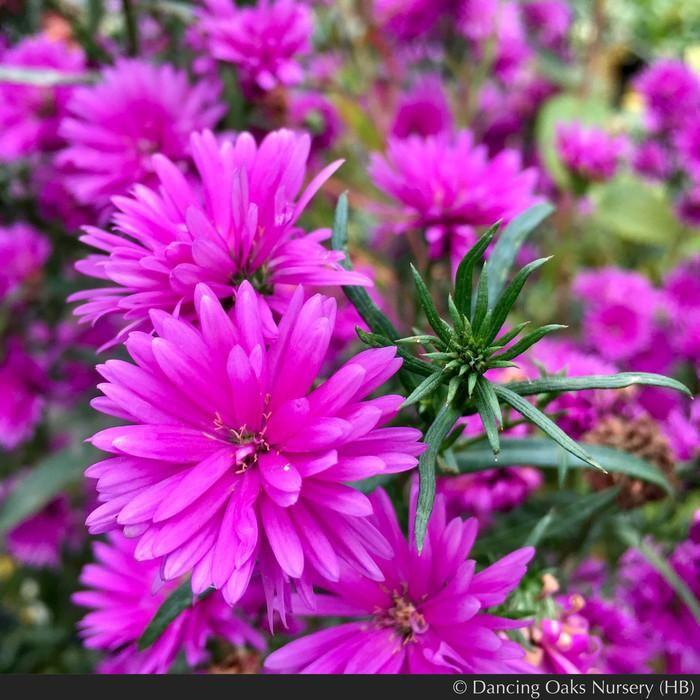 Aster Syn Symphyotrichum Novi Belgii Le Reve In 2020 Pink Perennials Ornamental Horticulture Pink Garden
