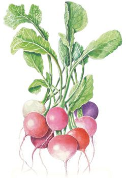 Radish Easter Egg Blend :love these illustrations for Botanical Interests Seeds