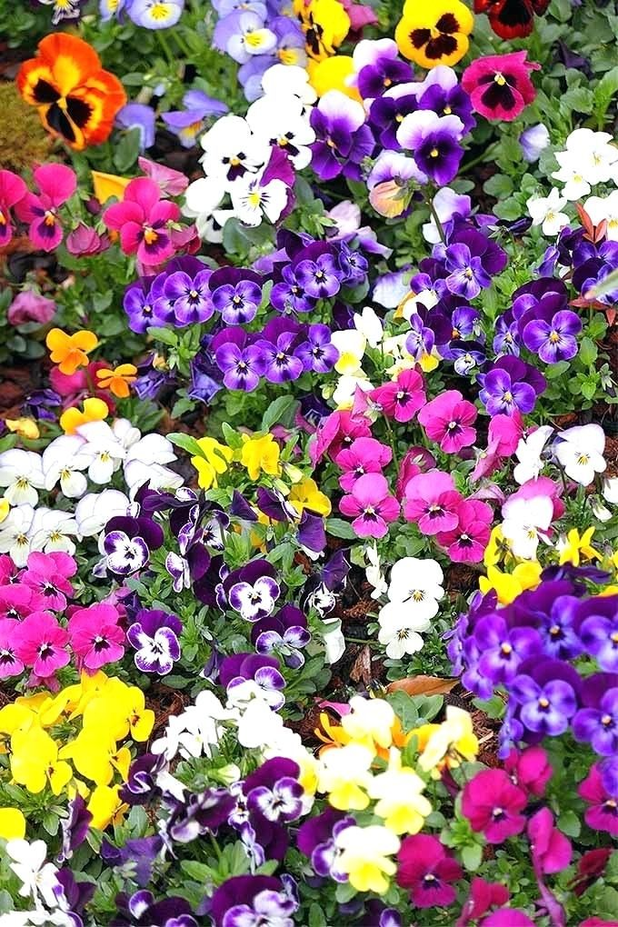 Pansies Flowers Winter Early Planting Means More Pansy Edible Pansies Flowers Pansies Purple Flowers Garden