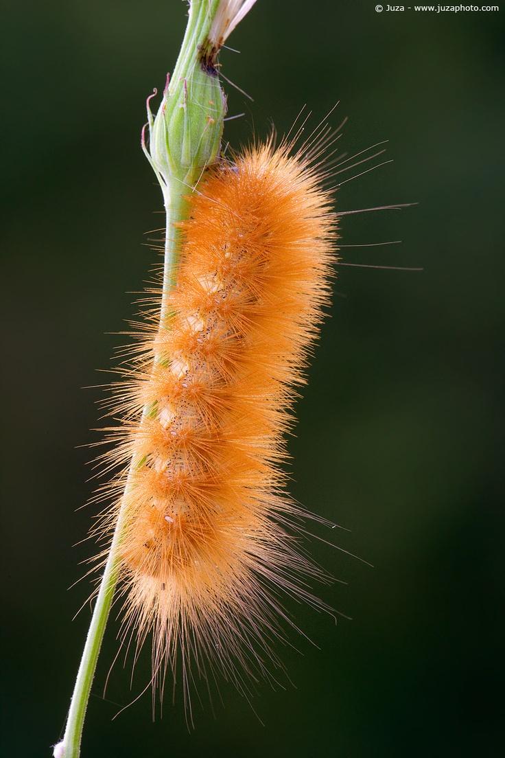 best 25 fuzzy caterpillar ideas on pinterest caterpillar bugs