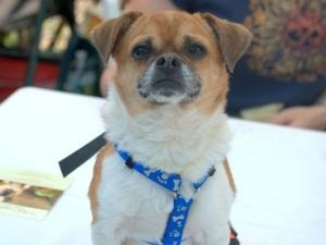 Alvin is an adoptable Pug Dog in New York, NY. Hi My name is Alvin, and i am the most adorable mixture of a male pug/chihuahua who is four years old and only weighiing 8 pounds and with a beautiful co...