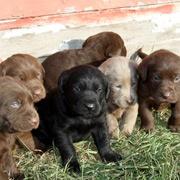 Waggingtails, wonderful Labrador breeder