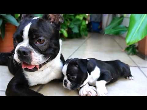 This is video that is including four Boston Terrier puppies. There is one brown Boston Terrier Puppy and the other are brindle or black and white.