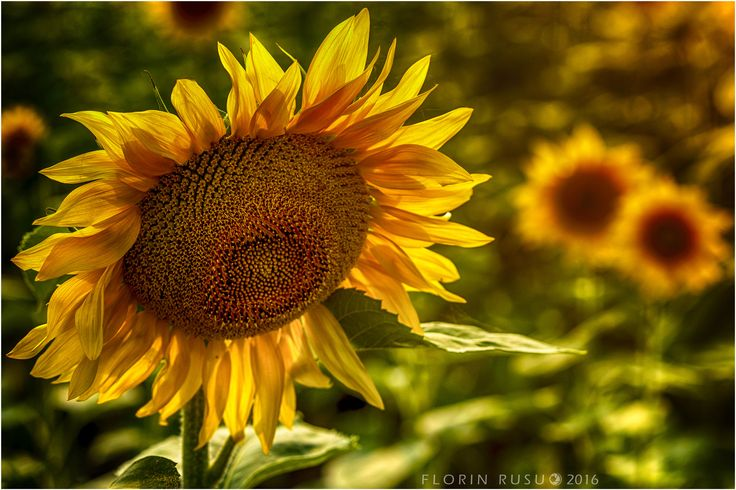 sunflower - Your photos reflect your soul.