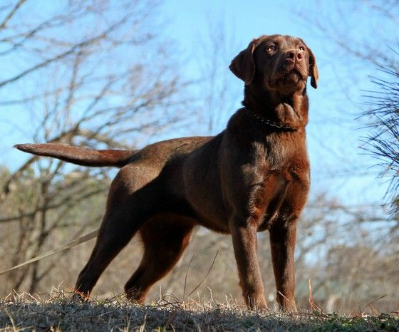 adult labradors dogs