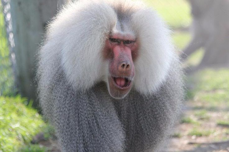 Bosley, one of our Baboons!