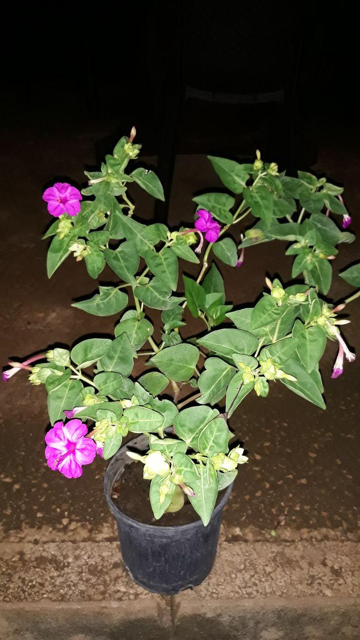 Four oclock four o clock plants garden