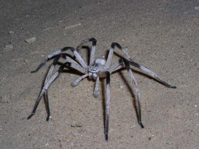 Aranha gigante de Israel