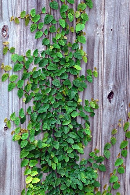Fig Ivy - I want this for the back yard fence