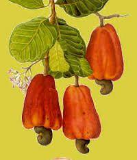 """Résultat de recherche d'images pour """"arbre noix de cajou"""""""