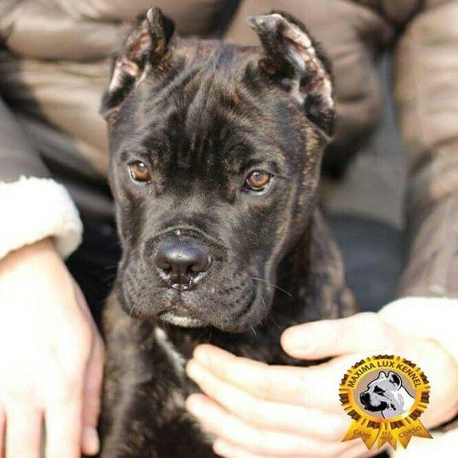 Puppy Cane Corso for sale!