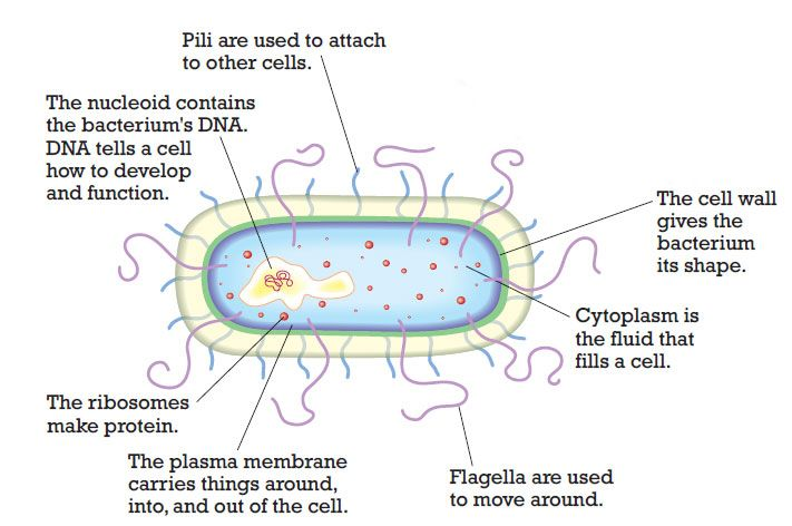 Bacterial Cell Diagram Game Auto Electrical Wiring Diagram