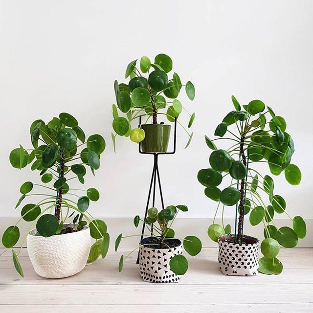les 227 meilleures images du tableau pannenkoekenplant pilea peperomioides sur pinterest. Black Bedroom Furniture Sets. Home Design Ideas