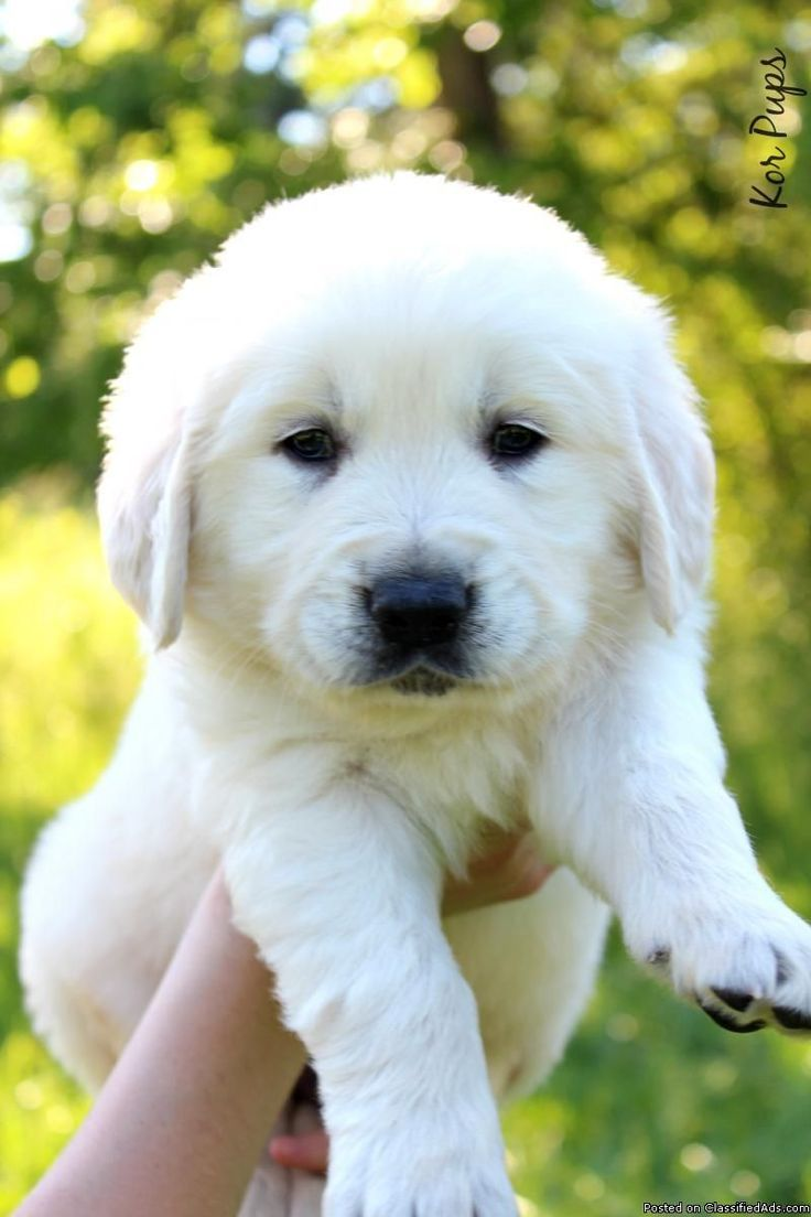 Golden Retriever Noble Loyal Companions Puppies Dogs Golden
