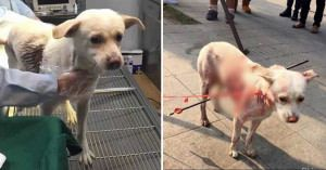 [Graphic]Horrifying picture showing dog shot with two arrows and left covered in blood sparks outrage but brave pup makes amazing recovery