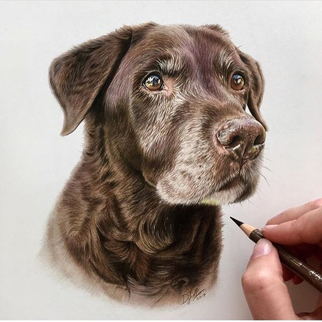 @danielleportraits chocolate Labrador Colored pencil Drawing