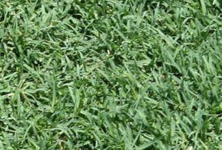 Celebration Bermuda Grass Plugs - 36 Plugs