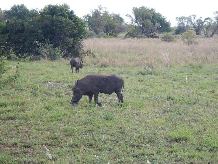 south africa animal warthogs