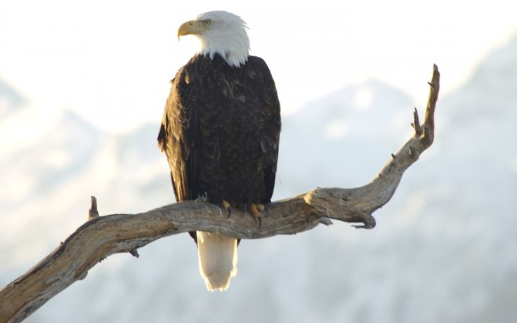 http://megahdwallpapers.net/wallpapers/l/1920x1200/71/bald_eagle_in_alaska_1920x1200_70685.jpg
