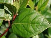 Viburnum Lucidum http://www.fidanistanbul.com/urun/2836_viburnum-lucidum.html Fidan Satışı, Fide Satışı, internetten Fidan Siparişi, Bodur Aşılı Sertifikalı Meyve Fidanı Süs Bitkileri,Ağaç,Bitki,Çiçek,Çalı,Fide