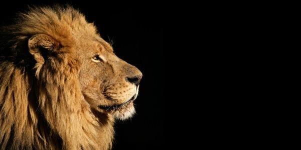 Leão – As características que você não esperava sobre o rei da selva