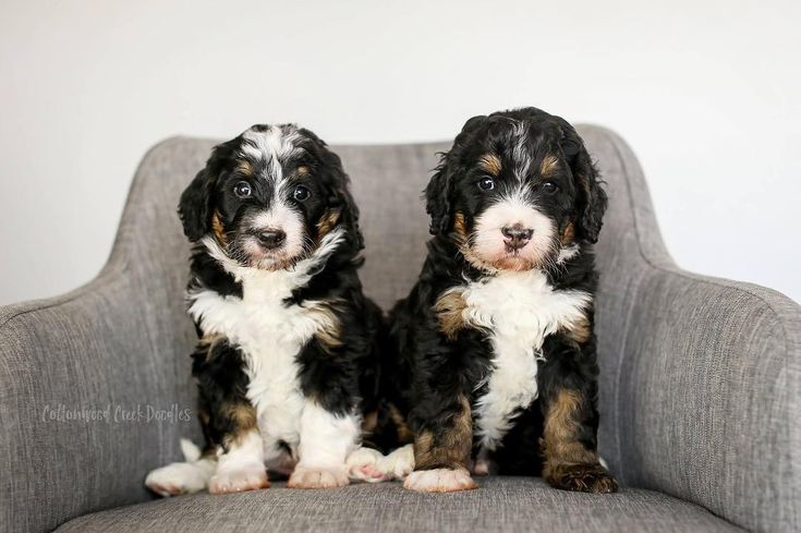 F1b Bernedoodle Puppies For Sale Uk References