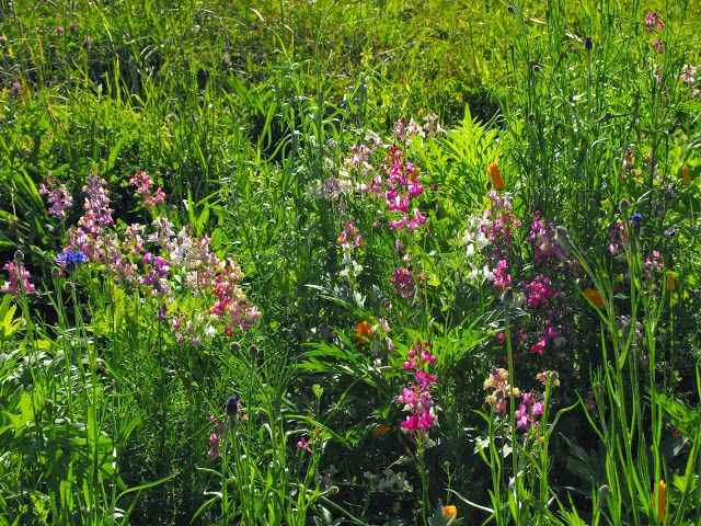 Toadflax were the first to flower in this new wildflower garden.