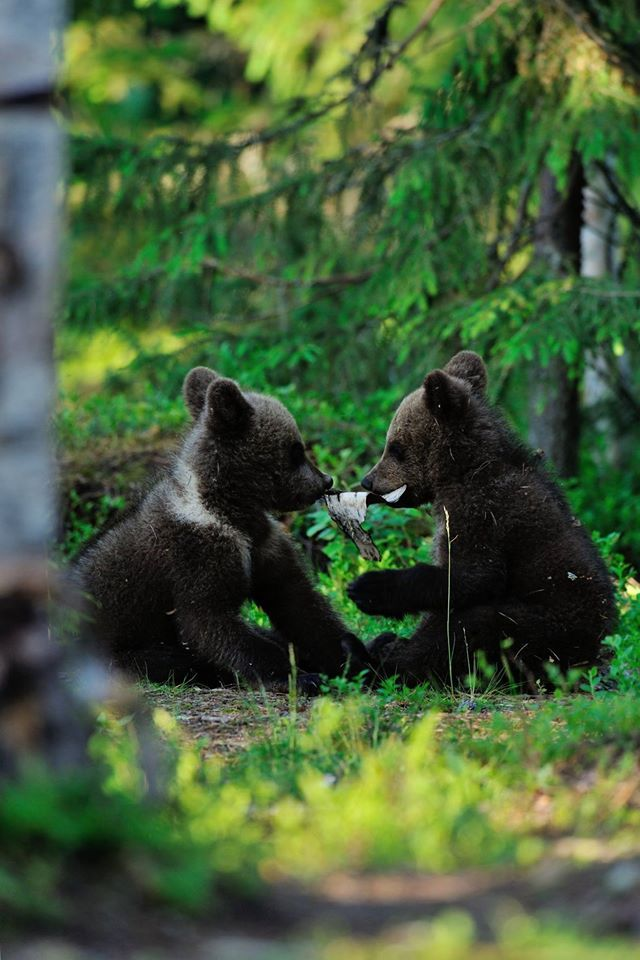 Two baby cubs playing in the woods.