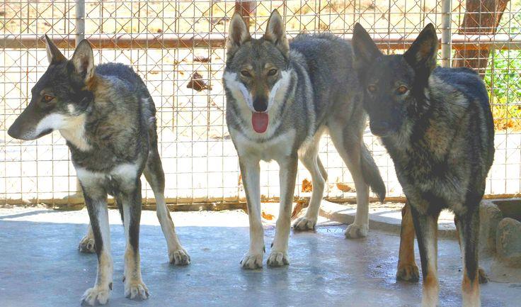 Iberian Wolfdogs. Perro lobo ibérico. Mallorcan breeder. Spain