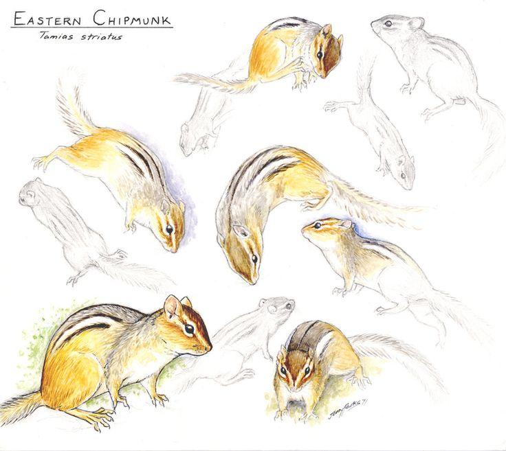 Eastern Chipmunk sketches by JennyParks on DeviantArt ...