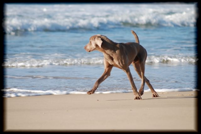 Weimaraner.@Ali Jorgensen Made me think of you and your gorgeous dog! @Jennifer Nelson Aww! Thank Jen! :)