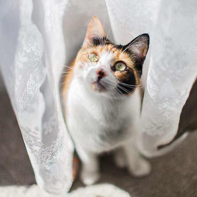 Playing in the curtains  cute calico kitten