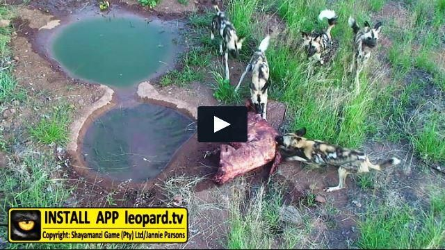 Read about the Wild dog's feeding behaviour! #science #leopardtv