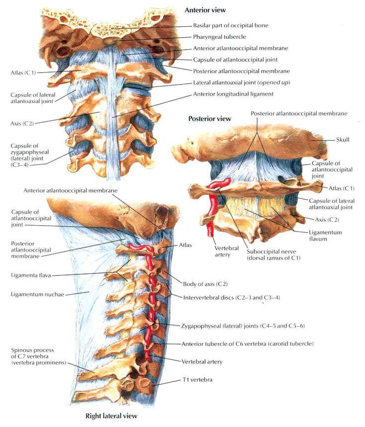 32 besten Cuello Bilder auf Pinterest | Anatomie und physiologie ...