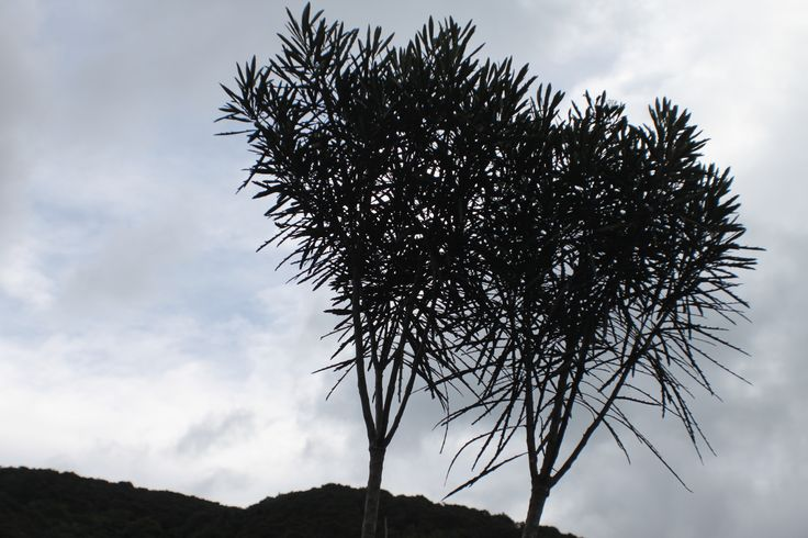 mature lancewood