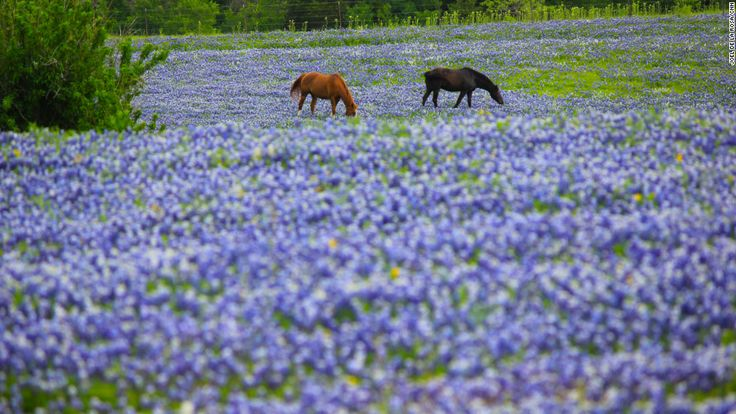 17 Best Images About Blue Bonnets On Pinterest Paint