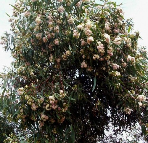 Mallee Tree Eucalyptus calycogona (Square-fruited Mallee) Pink Form