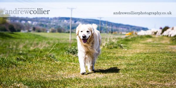 Pet portrait photograph of a three year old flat coated golden retriever