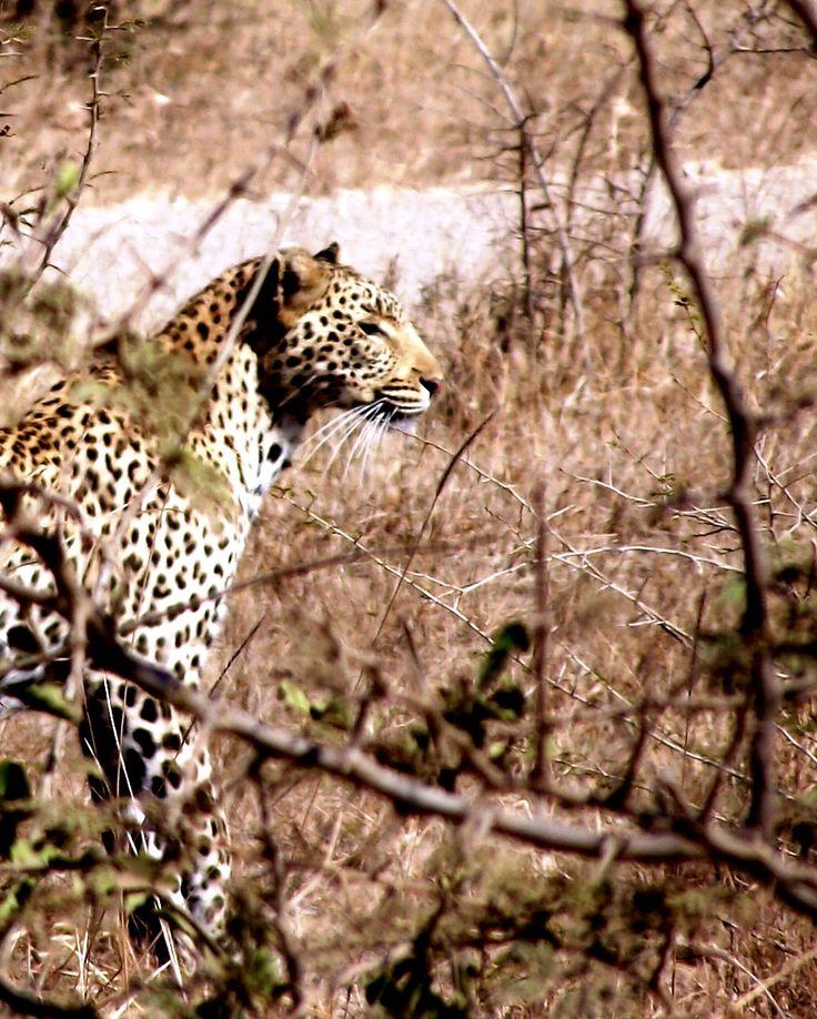Silent Killer... Leopard