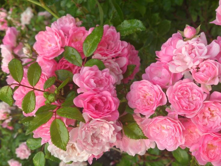 Pink roses in my neighbourhood. Sweden 2012.