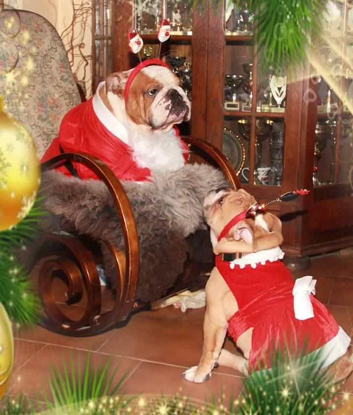 342 best Holiday Bulldogs images on Pinterest | English bulldogs ...