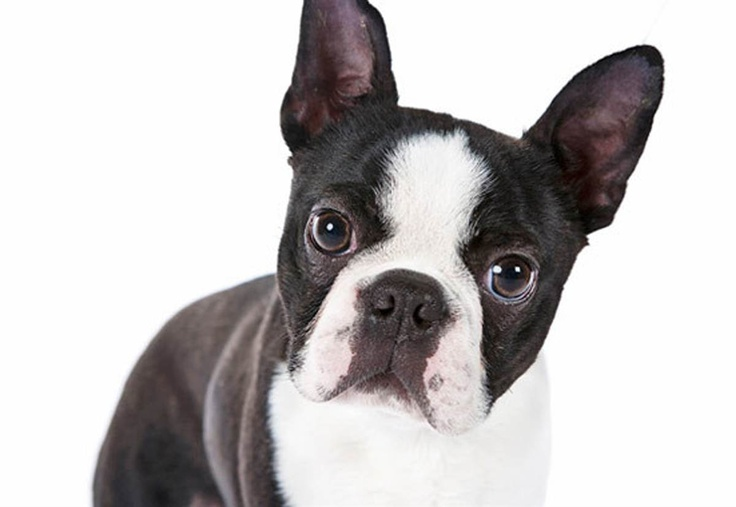 "Boston terrier.  This fun little dog is, of course, a product of Beantown. His ancestors were probably crosses between Bulldogs and the now-extinct white English terrier, but the modern Boston terrier is USA through and through — so much so that the dapper, tuxedo-wearing pup is nicknamed the ""American Gentleman."""