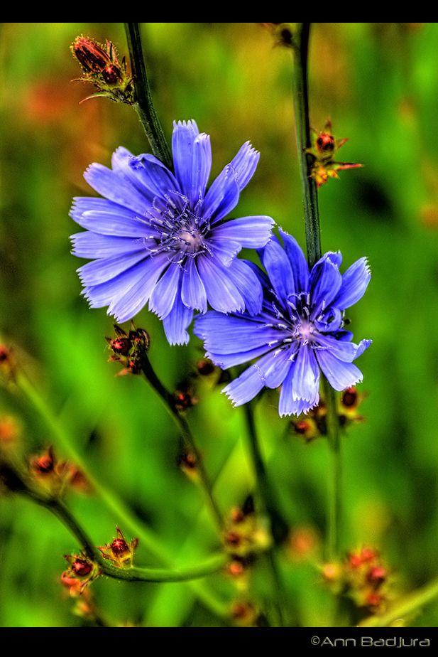 """A pretty bluish wild flower named """"Chicory"""" found in British Columbia, Canada...taken by myself - ©Ann Badjura"""