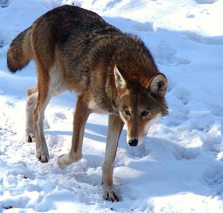 Only a hundred red wolves still survive in the U.S., making them the nation's most endangered wolf species. Protect these majestic animals from extinction by supporting crucial conservation efforts.