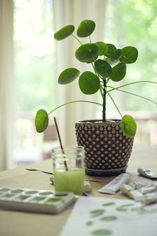 House plant: Chinese Monkey Plant (Pilea peperomioides)